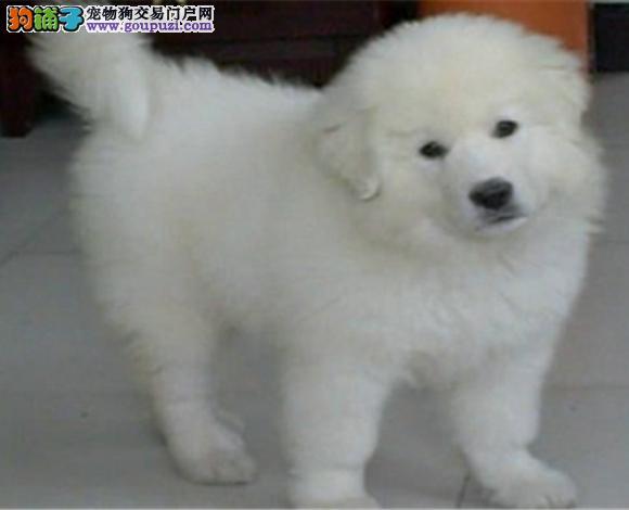 武汉出售纯种大白熊犬幼犬大骨架 武汉大白熊多少钱