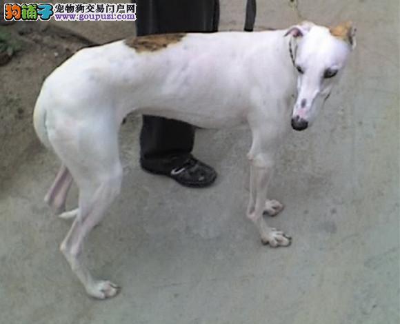 武汉出售格力犬幼犬惠比特犬灵缇犬猎兔犬细狗多少钱