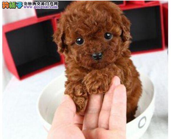 武汉出售纯种泰迪贵宾犬泰迪幼犬娃娃脸大眼睛茶杯犬