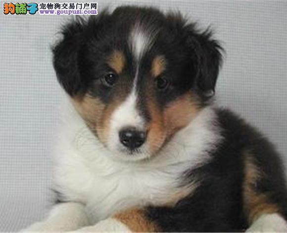 武汉出售纯种苏牧苏格兰牧羊犬幼犬长毛伴侣犬多少钱