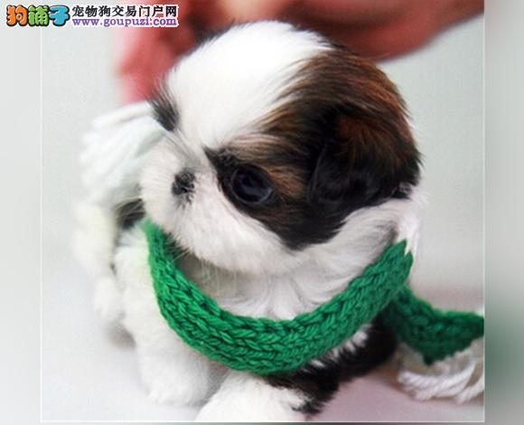 武汉出售纯种西施犬幼犬长毛犬贵族犬多少钱哪里买