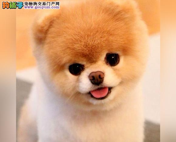郑州出售纯种博美犬博美幼犬哈多利球形博美俊介宝宝