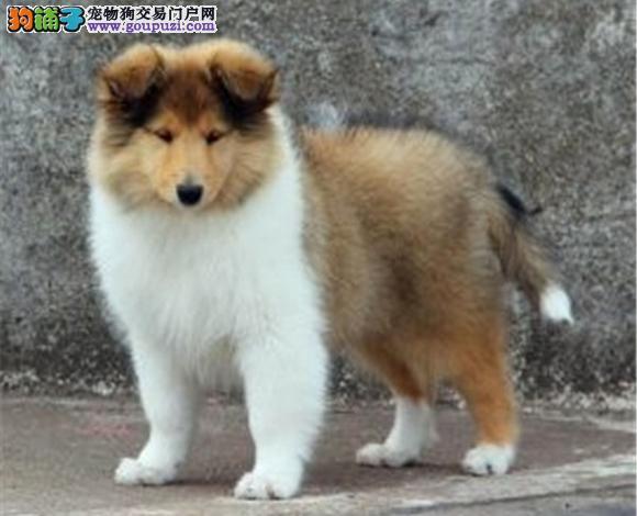 郑州出售纯种苏牧苏格兰牧羊犬幼犬长毛伴侣犬多少钱