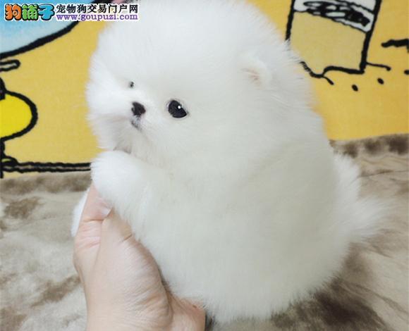 保定出售纯种博美犬博美幼犬哈多利球形博美俊介宝宝