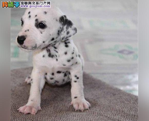 保定出售纯种斑点犬幼犬大麦町犬花色均匀包健康包纯种