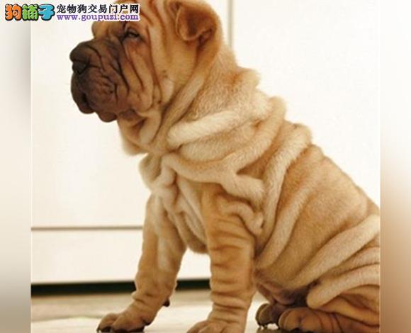 长治出售纯种沙皮犬幼犬沙皮狗褶皱多哪里卖多少钱