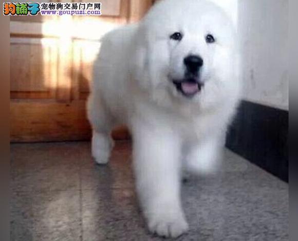长春出售纯种大白熊犬幼犬大骨架长春大白熊多少钱