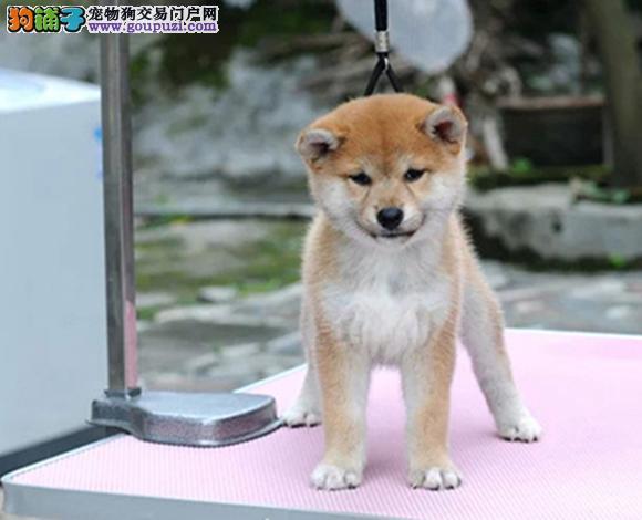 哈尔滨出售纯种柴犬日系柴犬幼犬赛级柴犬豆柴网红柴犬