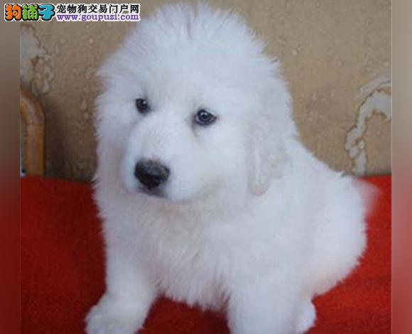 哈尔滨出售纯种大白熊犬幼犬大骨架哈尔滨大白熊多少钱