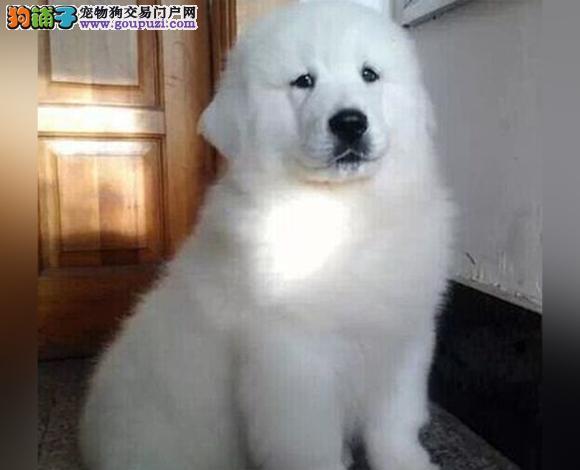 拉萨出售纯种大白熊犬幼犬大骨架 拉萨大白熊多少钱
