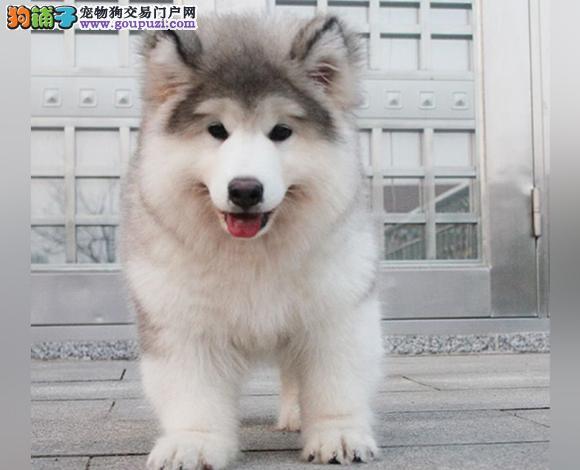 拉萨出售纯种阿拉斯加犬幼犬熊版阿拉斯加大骨架雪橇犬