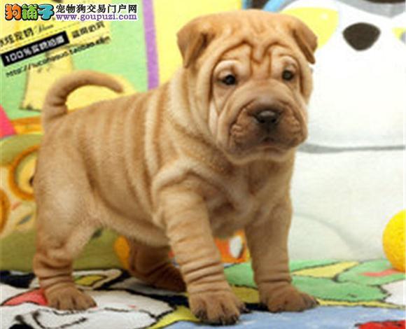 拉萨出售纯种沙皮犬幼犬沙皮狗褶皱多哪里卖多少钱