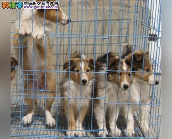 拉萨出售纯种苏牧苏格兰牧羊犬幼犬长毛伴侣犬多少钱