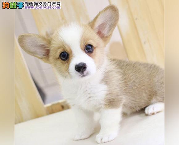 拉萨出售纯种柯基犬威尔士柯基幼犬小短腿柯基三色双色