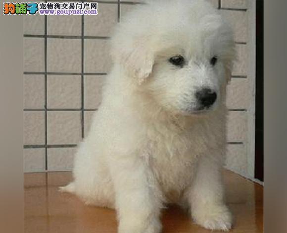 玉溪出售纯种大白熊犬幼犬大骨架 玉溪大白熊多少钱