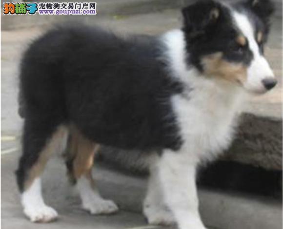 玉溪出售纯种苏牧苏格兰牧羊犬幼犬长毛伴侣犬多少钱