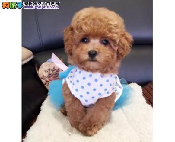 贵阳出售纯种泰迪贵宾犬泰迪幼犬娃娃脸大眼睛茶杯犬