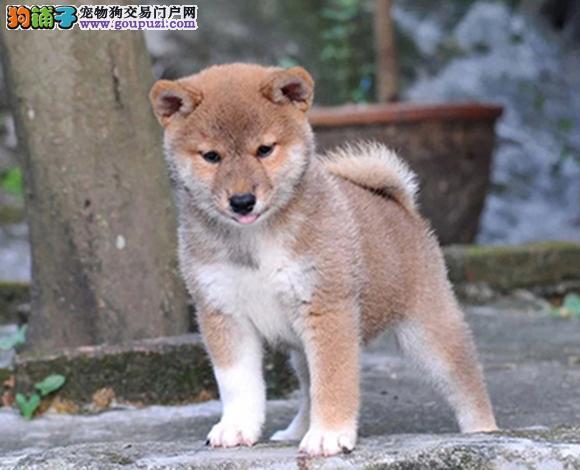贵阳出售纯种柴犬日系柴犬幼犬赛级柴犬豆柴网红脸柴犬