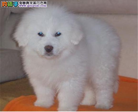 贵阳出售纯种大白熊犬幼犬大骨架 贵阳大白熊多少钱