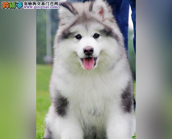 贵阳出售纯种阿拉斯加犬幼犬熊版阿拉斯加大骨架雪橇犬
