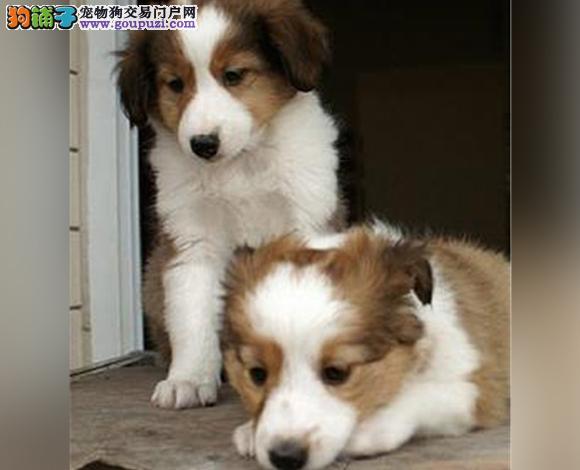 遵义出售纯种苏牧苏格兰牧羊犬幼犬长毛伴侣犬多少钱
