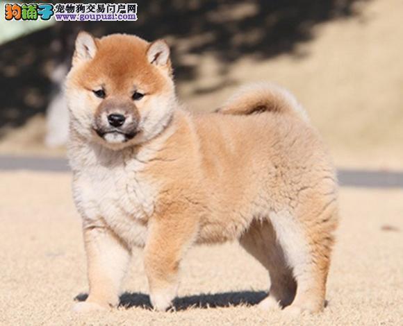 遵义出售纯种柴犬日系柴犬幼犬赛级柴犬豆柴网红脸柴犬