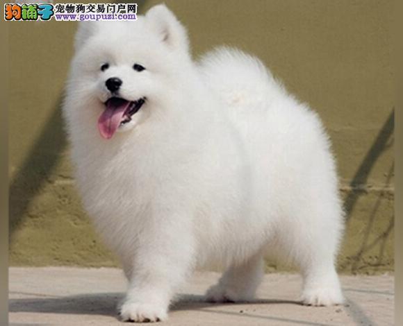 遵义出售纯种萨摩耶微笑天使萨摩耶幼犬澳版熊版萨摩耶