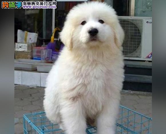 遵义出售纯种大白熊犬幼犬大骨架 遵义大白熊多少钱