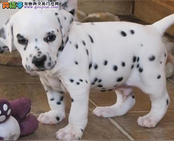 兰州出售纯种斑点犬幼犬大麦町犬花色均匀包健康包纯种