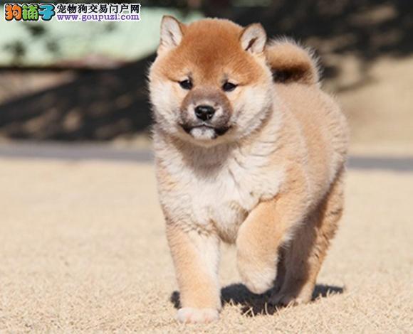 兰州出售纯种柴犬日系柴犬幼犬赛级柴犬豆柴网红脸柴犬