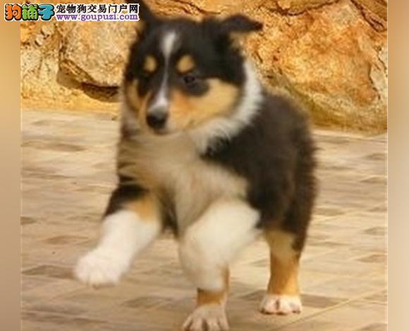 兰州出售纯种苏牧苏格兰牧羊犬幼犬长毛伴侣犬多少钱