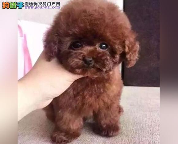 大连出售纯种泰迪贵宾犬泰迪幼犬娃娃脸大眼睛茶杯犬
