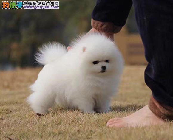 大连出售纯种博美犬博美幼犬哈多利球形博美俊介宝宝