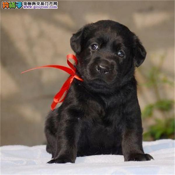 大连出售纯种拉布拉多犬拉拉幼犬导盲犬家养宠物狗狗