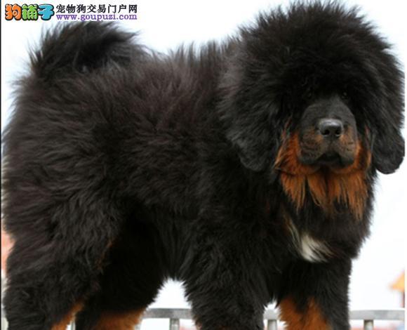 上海出售纯种虎头狮头藏獒犬猛犬幼犬看家护院包健康