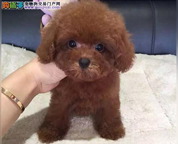 上海出售纯种泰迪贵宾犬泰迪幼犬娃娃脸大眼睛茶杯犬