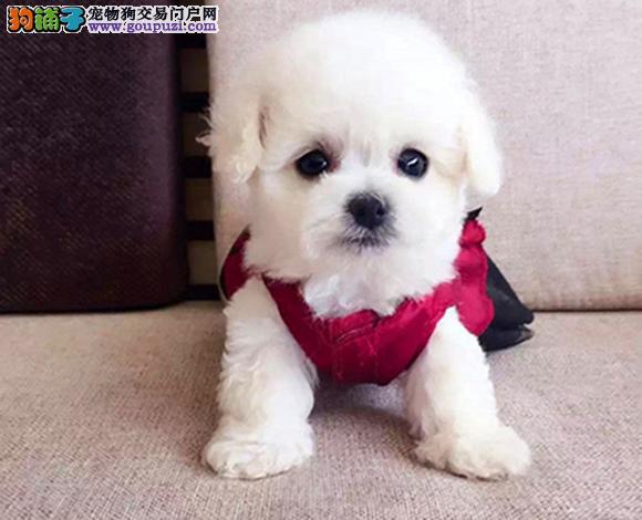 上海出售纯种比熊犬幼犬法国比熊卷毛棉花糖宝宝卷毛