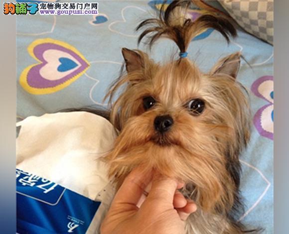 天津出售纯种约克夏犬长毛犬金头银背娃娃脸贵族犬幼犬