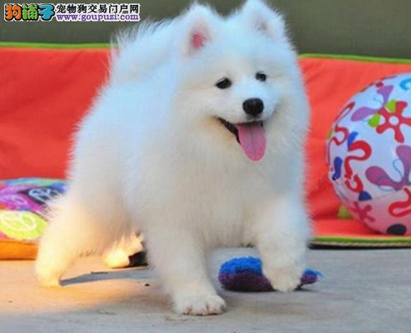 天津出售纯种萨摩耶微笑天使萨摩耶幼犬澳版熊版萨摩耶