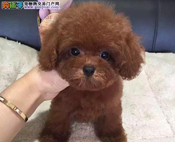 天津出售纯种泰迪贵宾犬泰迪幼犬娃娃脸茶杯犬泰迪