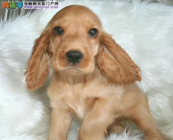 南京出售纯种可卡犬英卡犬美卡犬幼犬哪里买多少钱