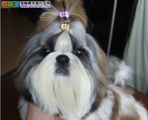南京出售纯种西施犬幼犬长毛犬贵族犬多少钱哪里买