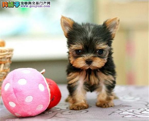 南京出售纯种约克夏犬长毛犬金头银背娃娃脸贵族犬幼犬
