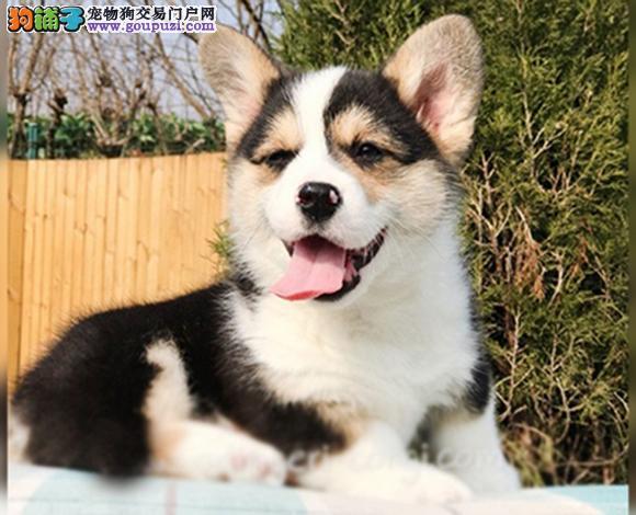 徐州出售纯种柯基犬威尔士柯基幼犬小短腿柯基三色双色
