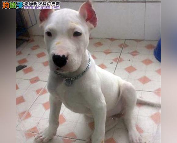 徐州出售纯种杜高犬护卫犬猛犬打猎犬杜高多少钱
