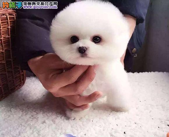 徐州出售纯种博美犬博美幼犬哈多利球形博美俊介宝宝