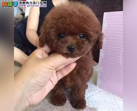 徐州出售纯种泰迪贵宾犬泰迪幼犬娃娃脸泰迪茶杯犬