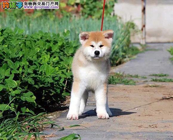 徐州出售纯种秋田犬日系秋田幼犬忠犬八公赛级秋田犬
