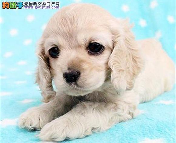 宁波出售纯种可卡犬英卡犬美卡犬幼犬哪里买多少钱