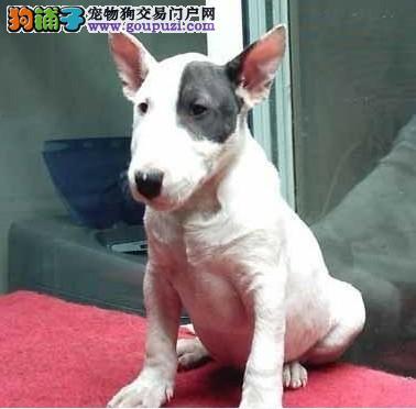 宁波出售纯种牛头梗海盗眼子弹头牛头梗犬多少钱